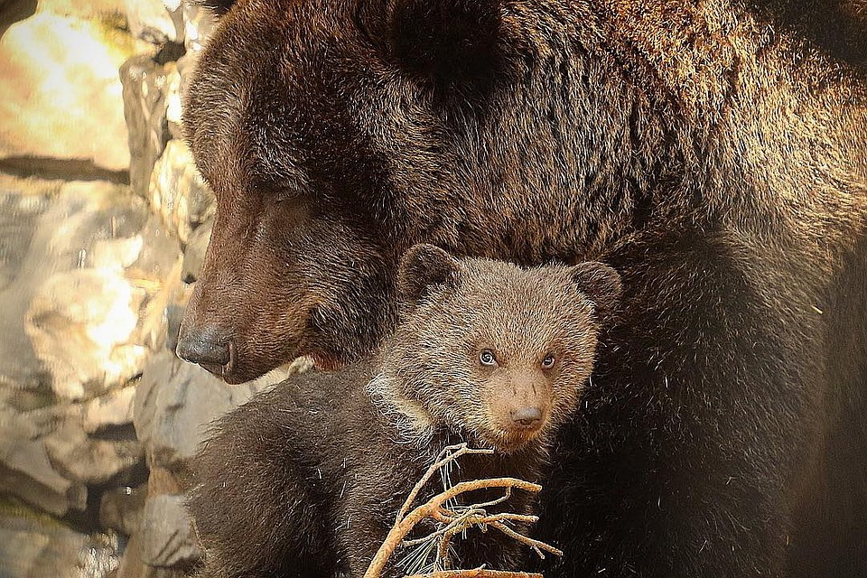 ВНовосибирском зоопарке бурая медведица начала выводить напрогулки двоих медвежат
