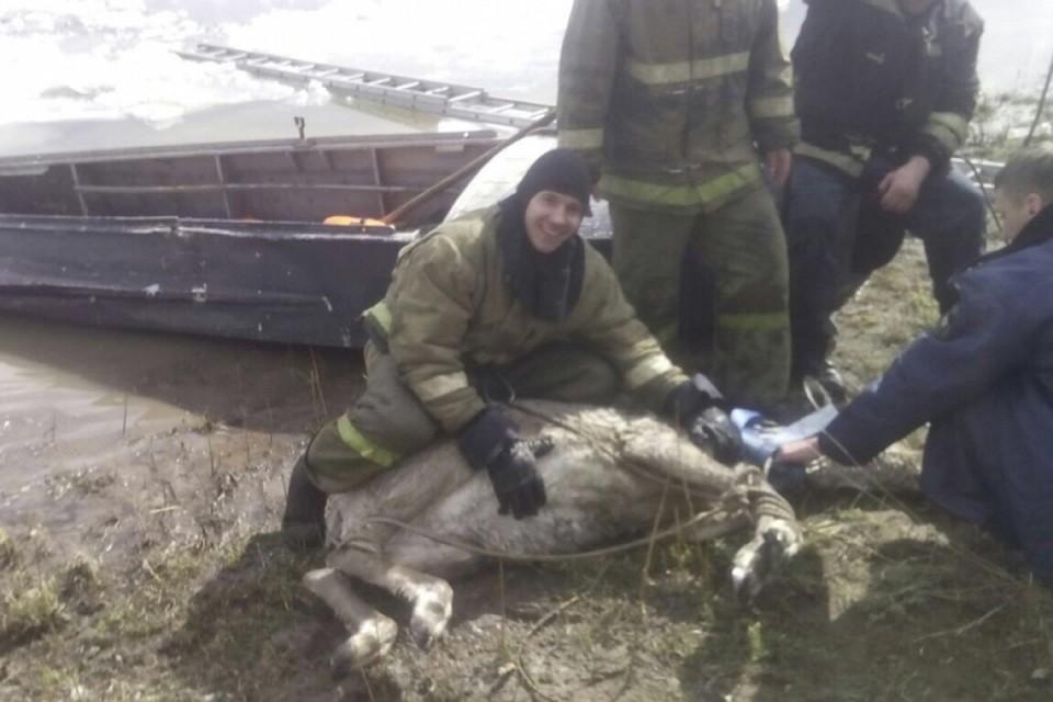 ВУсть-Куте спасли провалившуюся под лед беременную самку изюбря