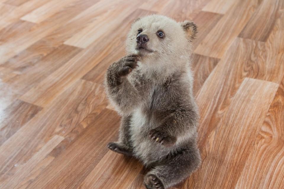 Нижегородец взял домой излеса трехмесячного медвежонка