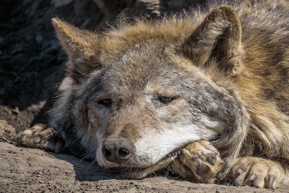 Скончался старейший волк зоопарка: почеловеческим меркам прожил больше 100 лет