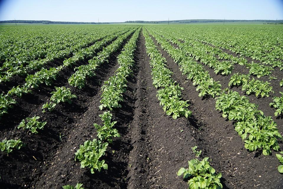 Мексика запретила импорт картофеля изсоедененных штатов
