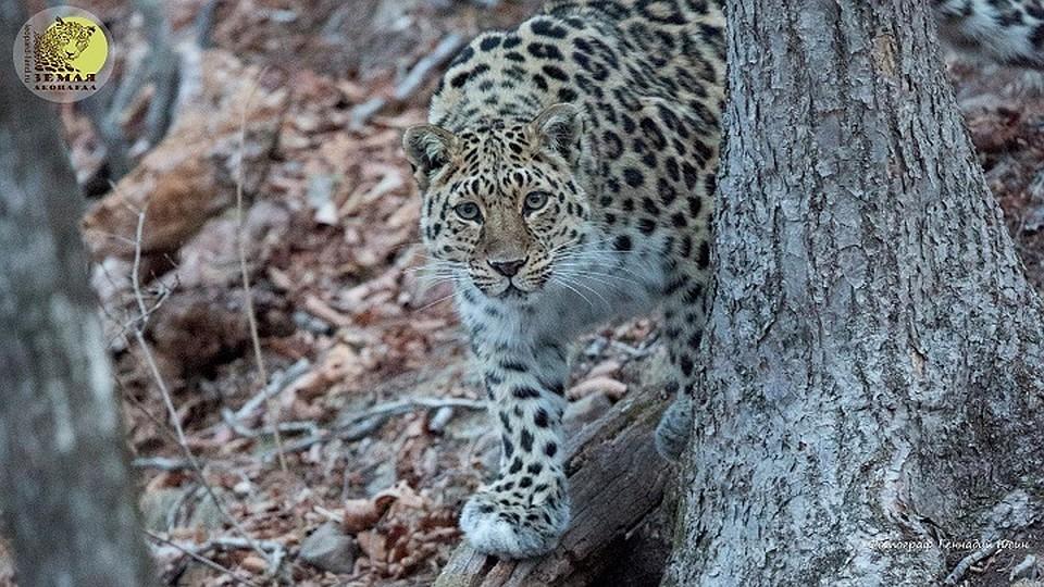 Крупнейший вмире центр посохранению дальневосточного леопарда открылся вПриморье