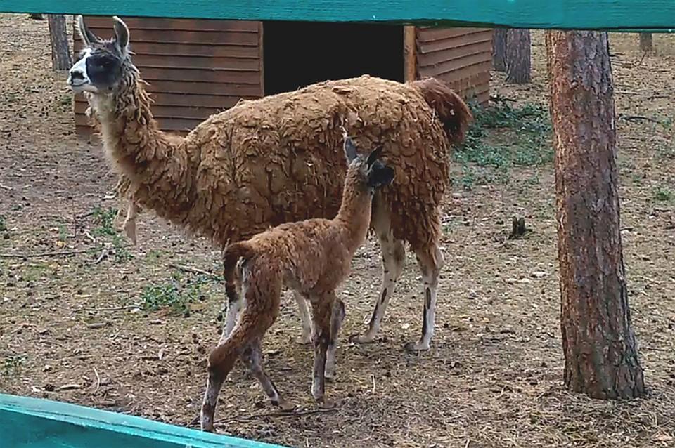 ВВоронежском зоопитомнике усемейства лам родился детёныш