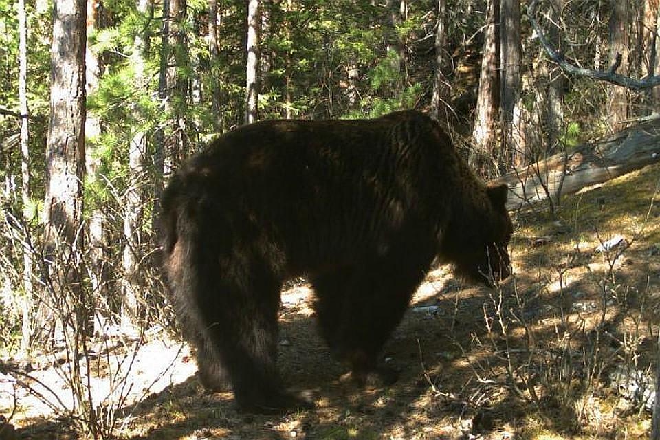 После массовых выходов клюдям под Красноярском решено отстрелить 3-х медведей