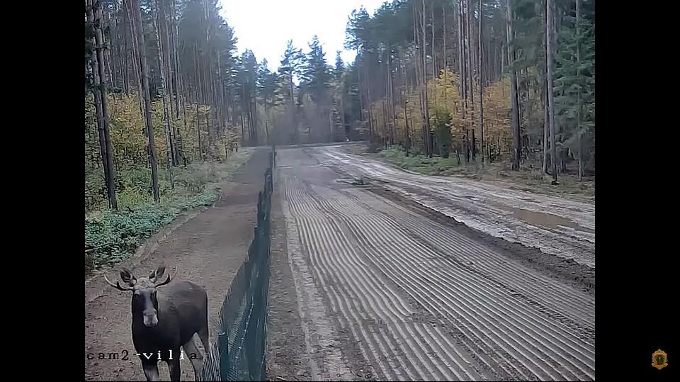 Лось «эмигрировал» из Республики Беларусь вЛитву, перепрыгнув забор награнице