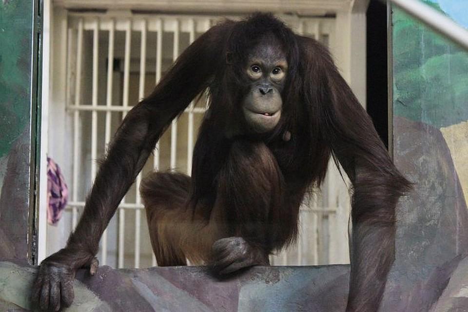 ВНовосибирском зоопарке корангутангу Захару приехала сестра Мишель