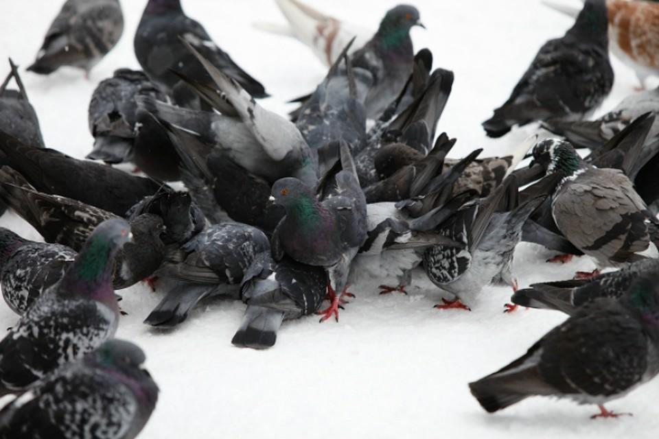 Хабаровские прокуроры отыскали вweb-сети интернет инструкцию поотравлению голубей