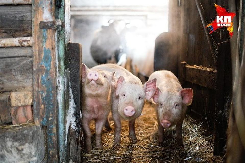 Отравитель свиней вКузбассе пойдёт под суд заповреждение имущества