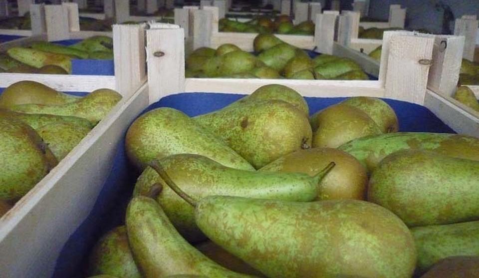 Челябинский Россельхознадзор уничтожит 118 тонн подозрительных яблок игруш