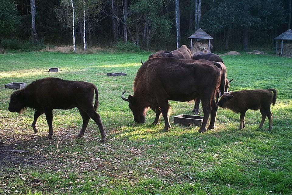 Заповедник «Брянский» лес радуется 5-ти новорождённым зубрятам-девочкам