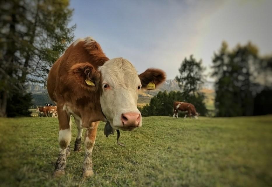 НаКубани семейная пара заработала нафиктивных коровах 422 тысячи руб.