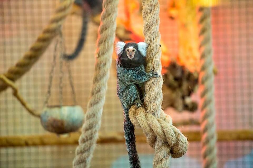 Усамой миниатюрной обезьянки насвете родился детеныш вРостове