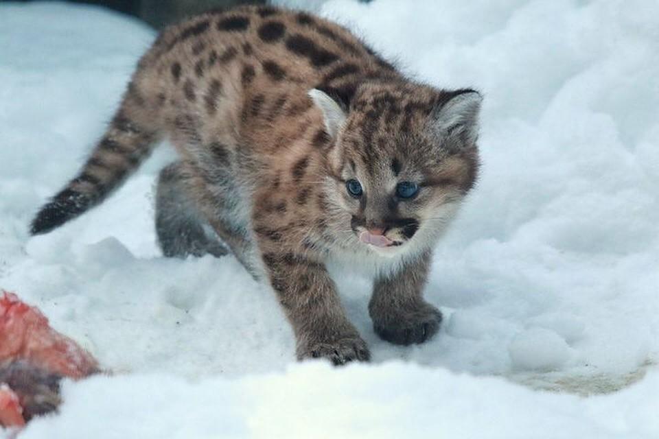ВНовосибирском зоопарке впервый раз запоследние 5 лет упумы родились котята