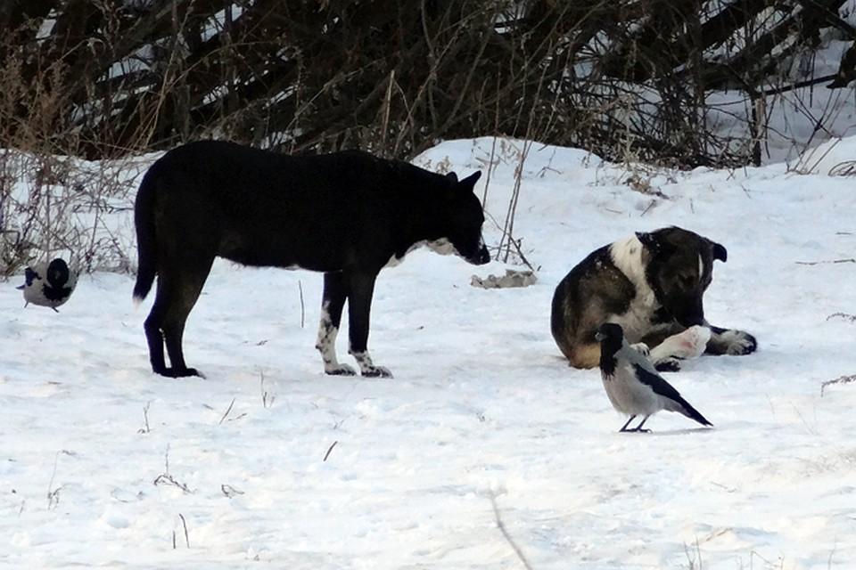 ВСалехарде проводят проверку пофактам нападения бродячих собак надетей