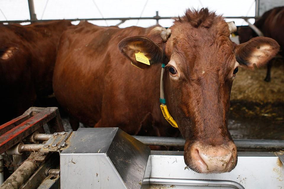 Субсидии дозволят получать молока наСтаврополье больше на40 процентов
