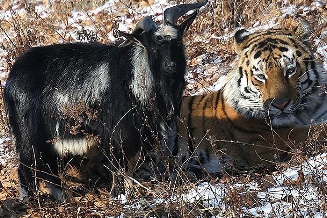 Животных расселят, только когда им придет время заводить потомство. Фото: Дмитрий Мезенцев
