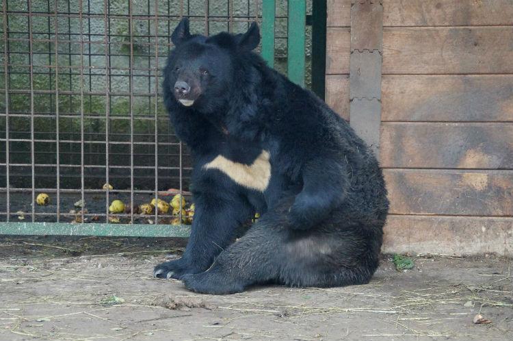 """Так выглядит гималайский медведь Миша (фото: питомник """"Велес"""")"""