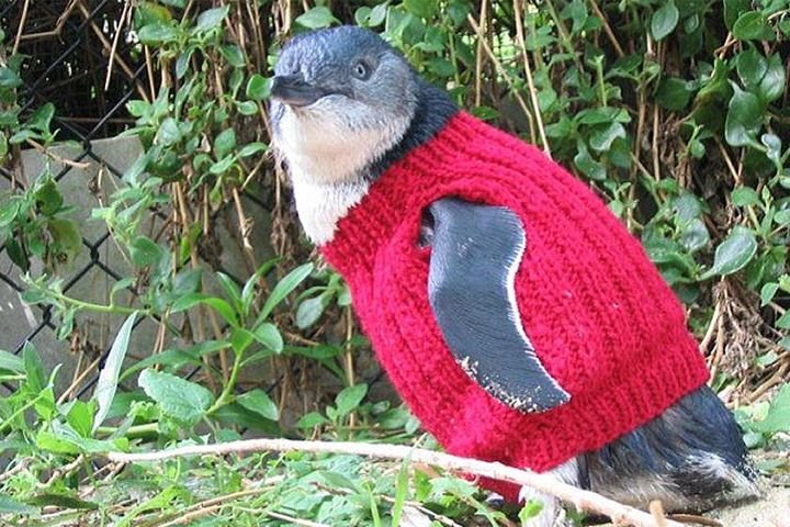 За эти годы более тысячи детенышей пингвинов получили от Мерл вязаные подарки