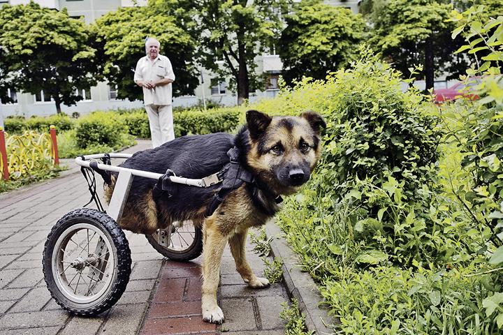 Пес привык к своему состоянию и передвигается совершенно свободно.