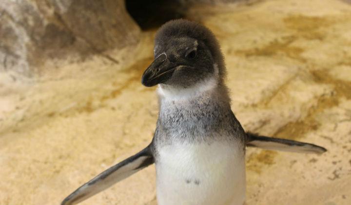 В «Роевом Ручье» птенец очковых пингвинов готовится квзрослой жизни