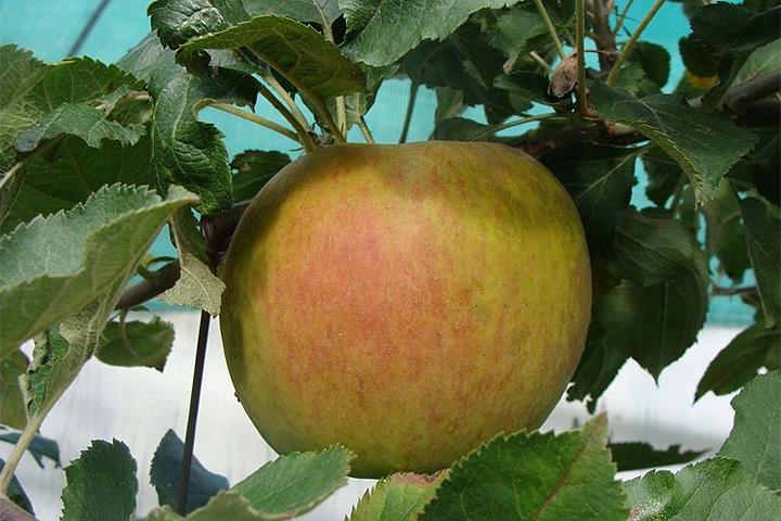 В Швеции вырастили яблоко весом 627 граммов. Фото: с сайта pepinieres-huchet.com