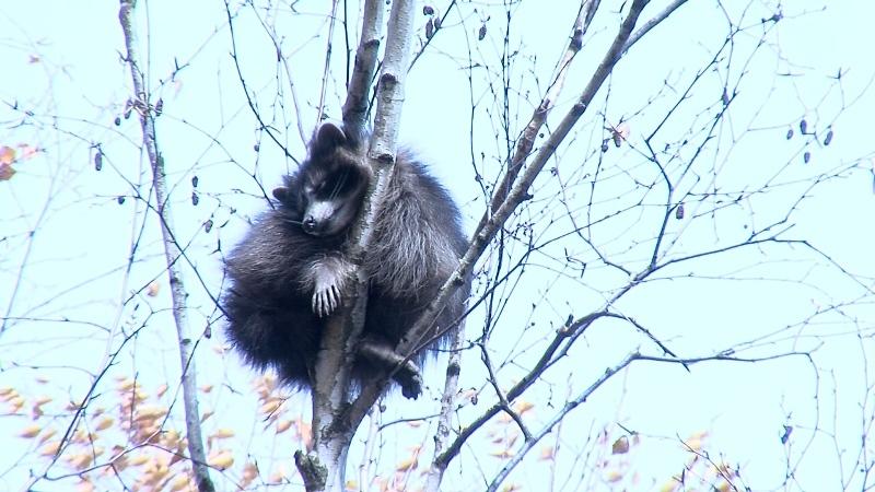 ВПятигорске сдесятиметрового дерева спасли застрявшего там енота