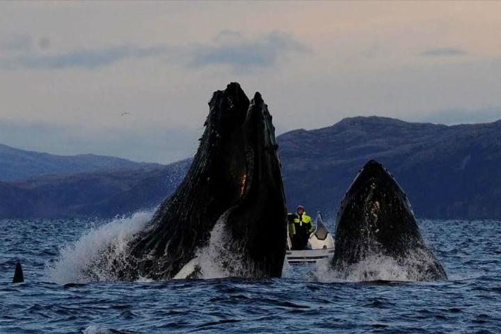 Горбатый кит весом под 30 тонн вынырнул рядом с человеком, едва не проглотив его. Фото: www.upi.com