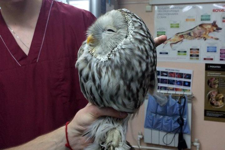 Спасители назвали сову Букля, птицу отдали в некоммерческий частный питомник