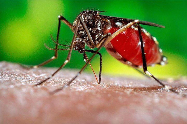 Учёные выявляют новые вирусы, благодаря охоте накомаров