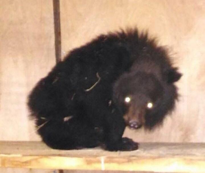 ВПриморье всарае отыскали истощенного гималайского медвежонка