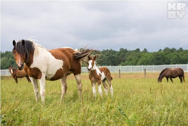 Лошадей здесь разводят не только для катания, но и на мясо. Фото: Игорь СИДОРУК