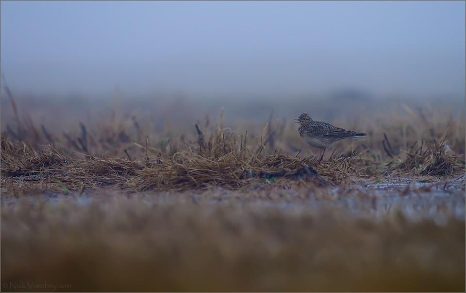 Первых жаворонков заметили на Гродненщине. Ждите их и в других районах страны! Фото: Николай ВОРОБЕЙ.