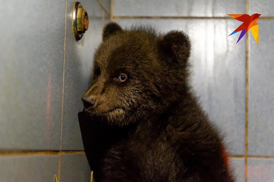 """Медвежонок Малек попал в """"Велес"""" истощенным и израненным, но теперь идет на поправку."""