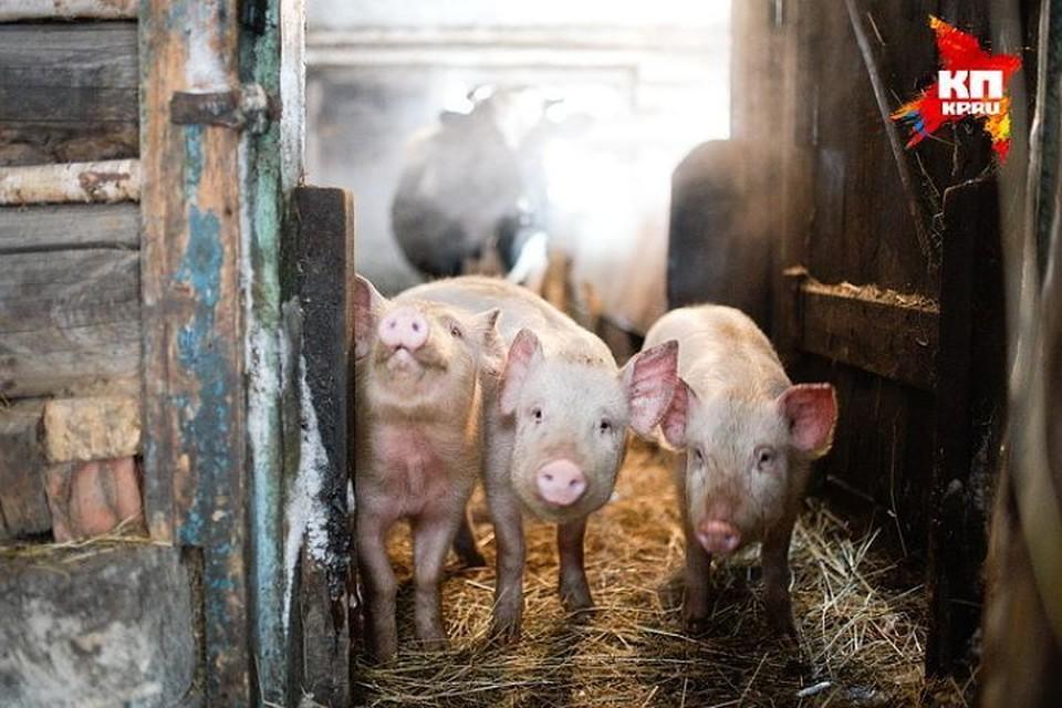 Африканская чума свиней снова убивает хрюшек в Тверской области