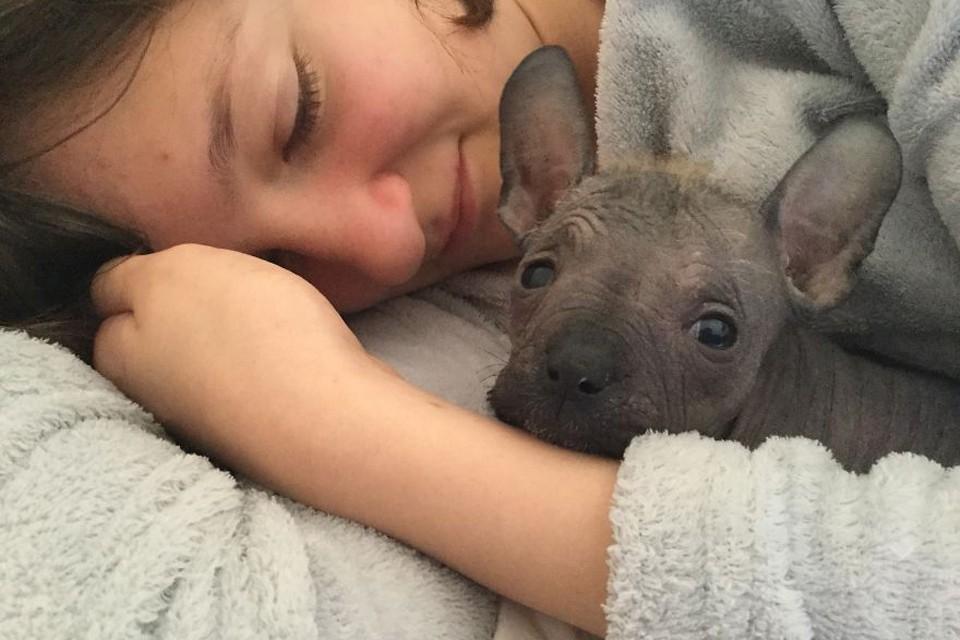Дамбо родился от любви французского бульдога и китайской хохлатой собаки.
