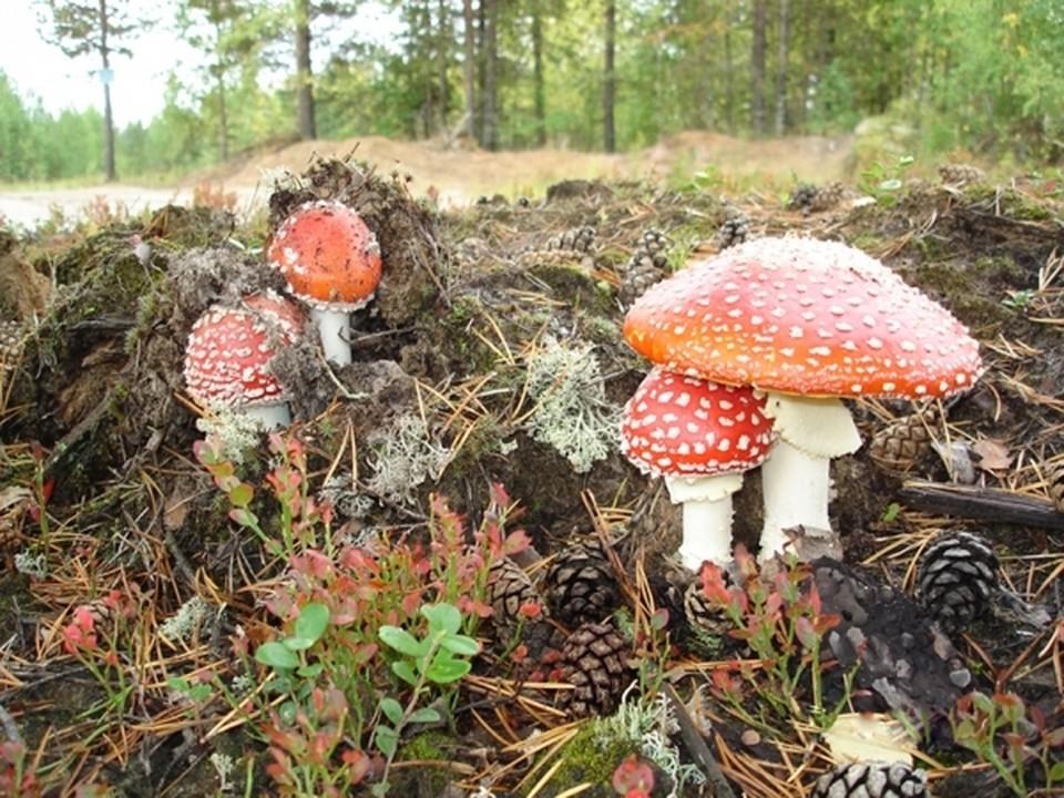 Мухоморы и поганки - грибы деликатесные