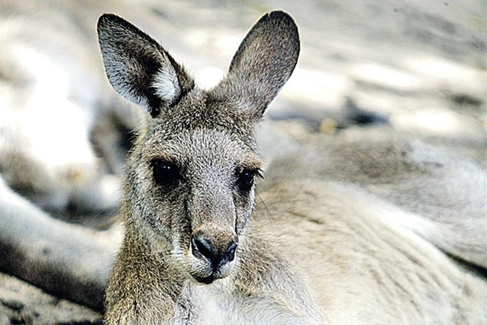 В Австралии кенгуру избил трех человек