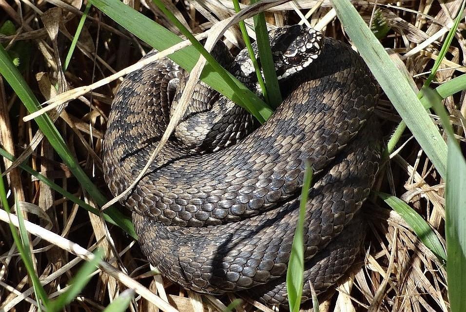 змеи пермского края фото с названиями сильно впечатлил