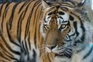 Ограбление по-дальневосточному: тигр украл у многодетной семьи быка в Хабаровском крае