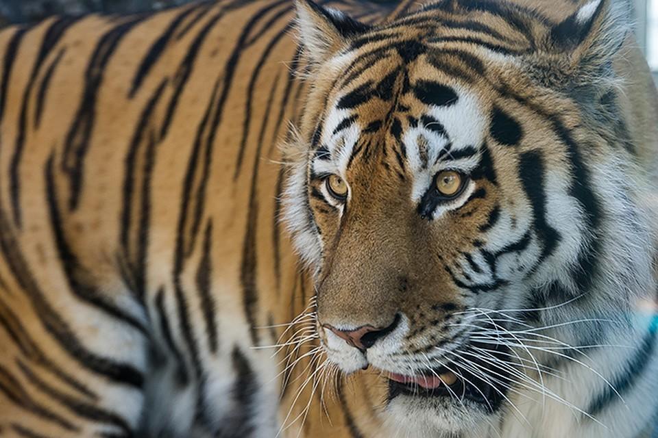 Ограбление по-дальневосточному: тигр, вооружившись когтями, украл у многодетной семьи быка в Хабаровском крае