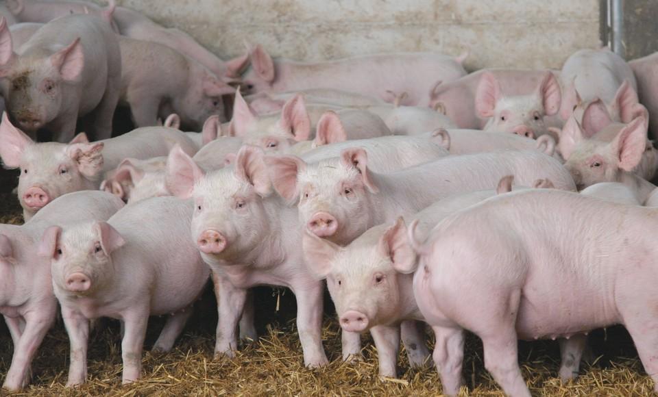 На пожаре в Лидском районе погибло 20 свиней и 12 поросят. ФОТО: сельхозпортал.рф