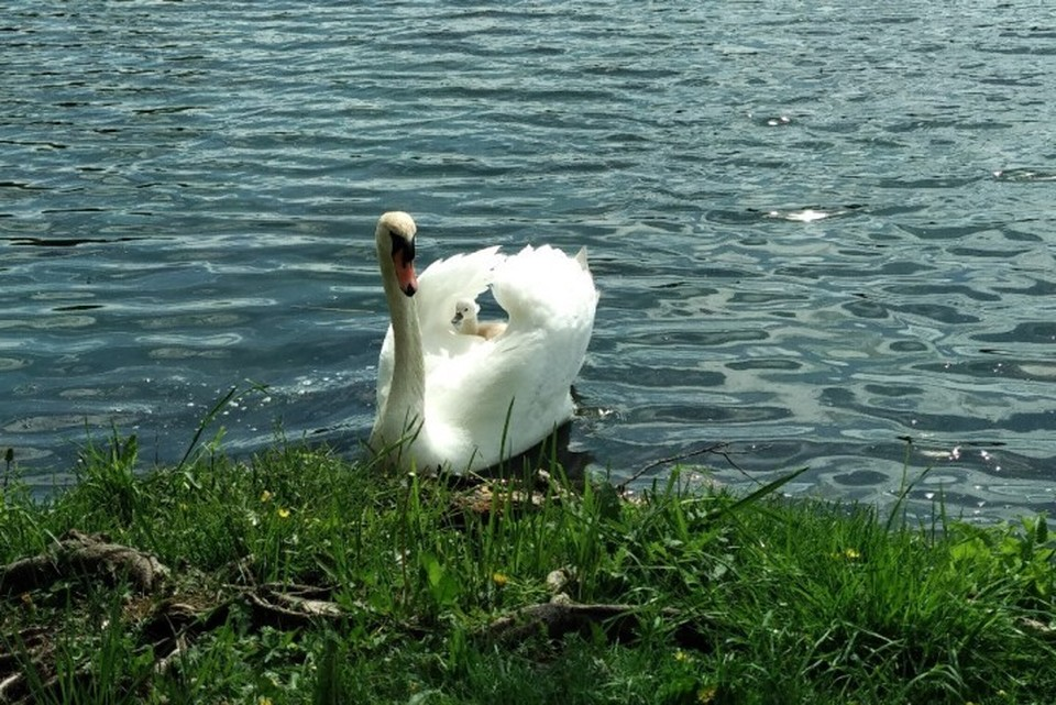 Идеальный отец: Овдовевший лебедь сам выгуливает птенца по Гатчинскому парку и учит его чистить перышки. ФОТО: Оксана Рябова