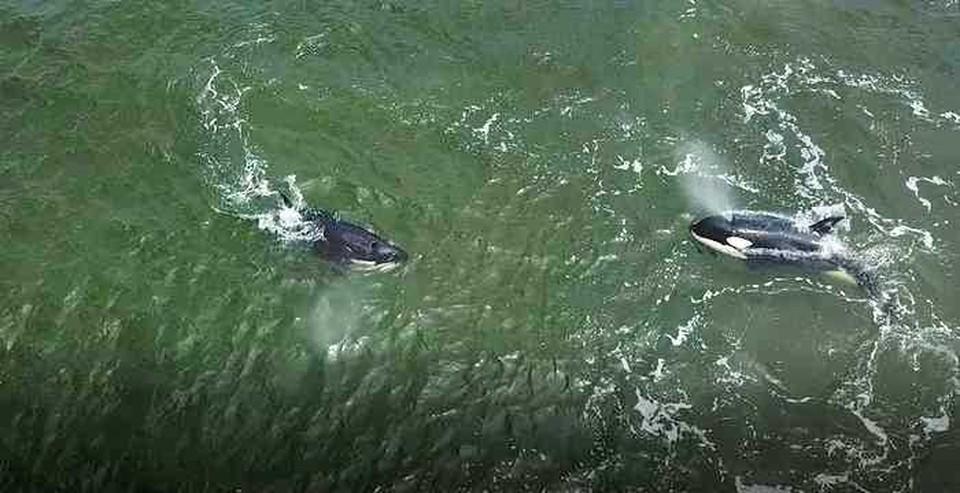 Косатки некоторое время несколько часов держались возле берега, затем вышли в открытые воды. Фото: персс-служба ВНИРО