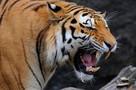 Под Оренбургом тигрица напала на парня, пытавшегося похитить ее тигренка