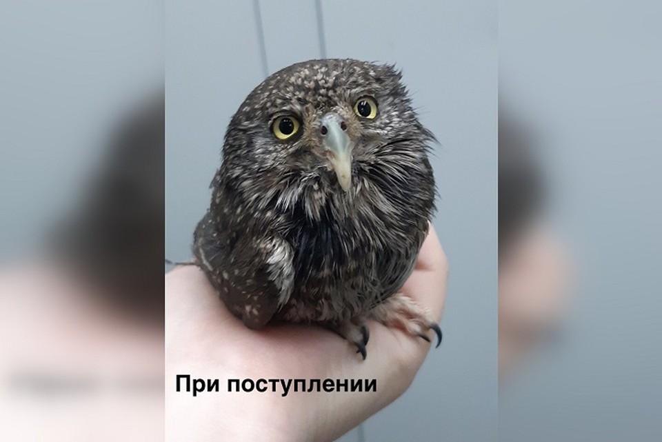 Так выглядел воробьиный сыч, когда попал к новосибирским волонтерам. Фото: Алиса Богомолова