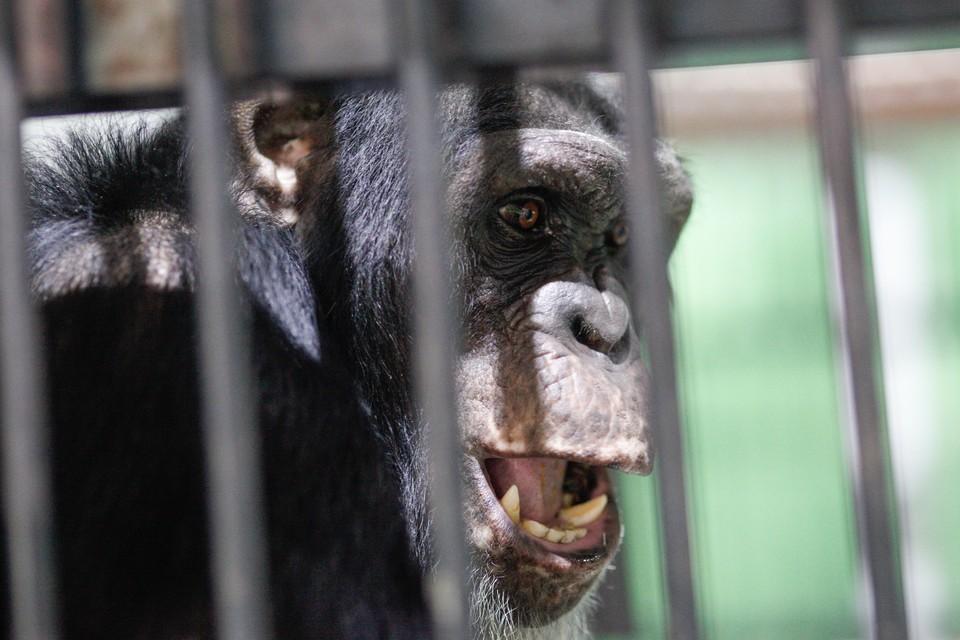 Шимпанзе откусила руку смотрителю на глазах у посетителей зоопарка