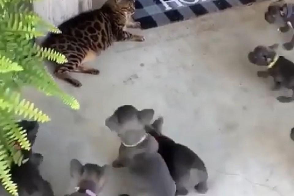 Невозмутимый кот проигнорировал атаку бульдогов