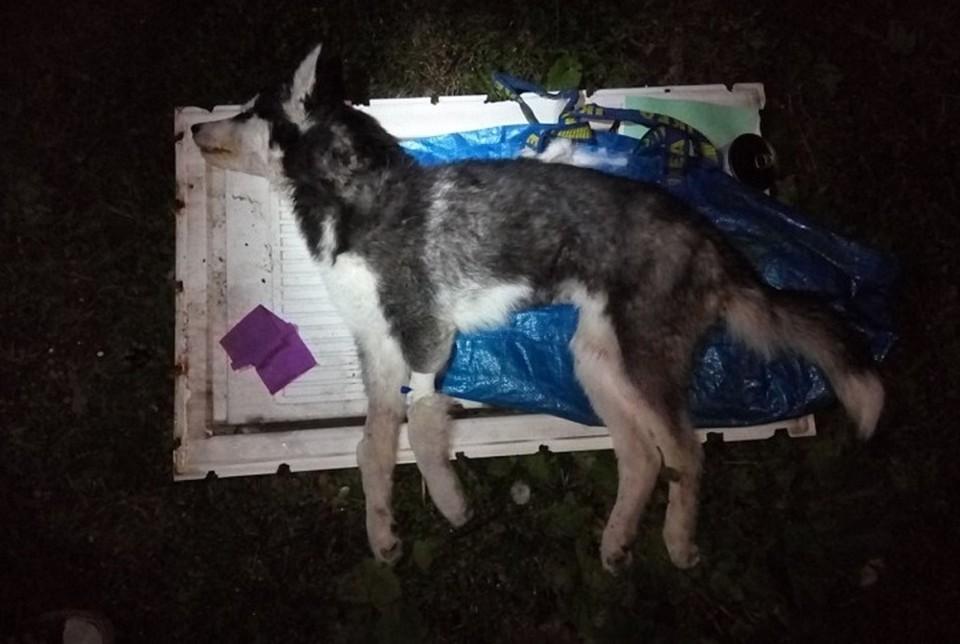 Сутки содержания щенка в больнице обходились почти в десять тысяч рублей. Фото: Анастасия Кудрявцева