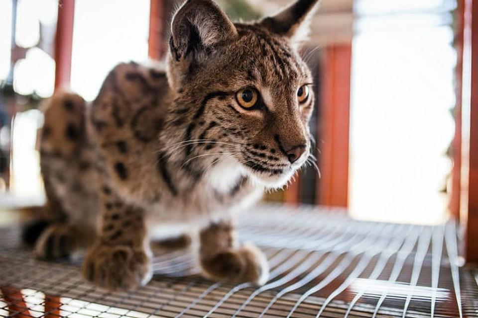рысь, европейская рысь (Lynx [Felis] lynx), родина ареал внешний ... | 640x960