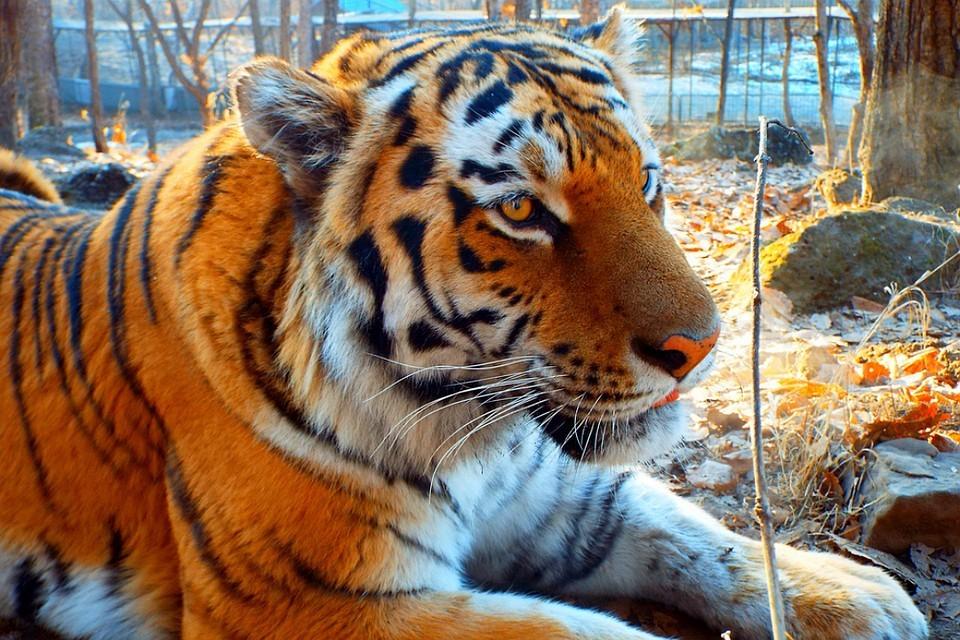 Тигры застряли на границе и истощены. Фото приморского сафари-парка